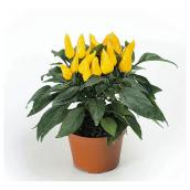 Ornamental Pepper Plants - 1-Litre Container