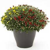 Assorted Mum - 13'' Decorative Pot