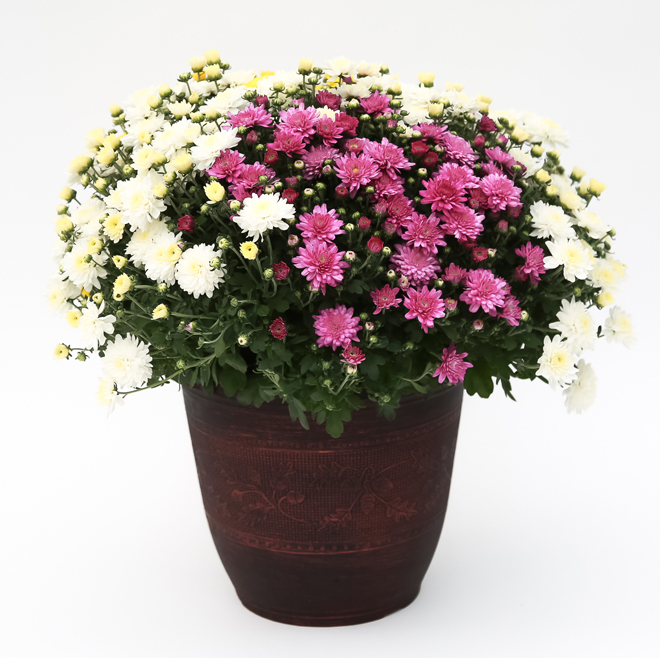 Chrysanthème assorti, pot décoratif de 13 po
