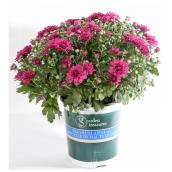 Assorted Mum - 1-Gallon Container