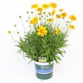 Plante fleurie d'automne assortie, contenant de 1 gallon