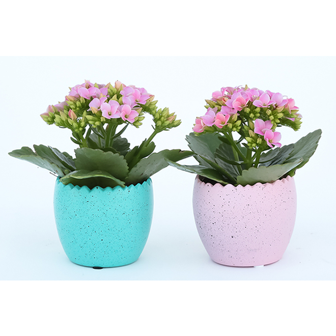 Easter Succulent Plant in a 3.5-in Ceramic Pot - Assorted Colours