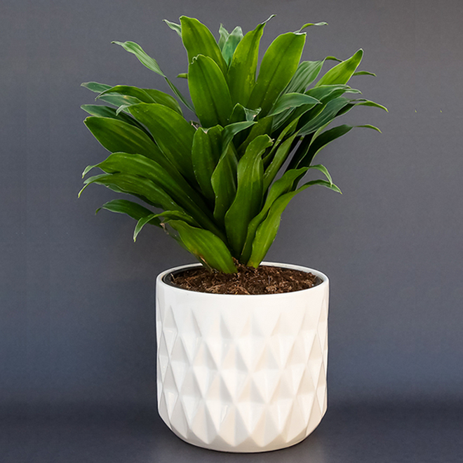 Devry Greenhouse - Assorted Indoor Plant in a 6-in Decorative Pot