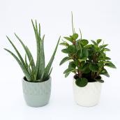 Devry Greenhouse Foliage - 6-in