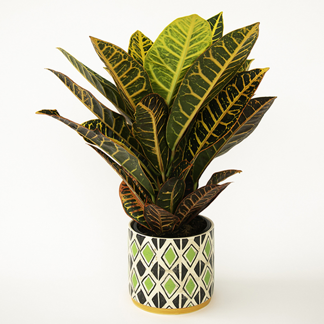 Assortiment de plantes tropicales Devry Greenhouse, Mowgli, 6 po