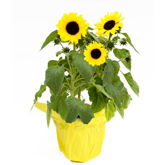 Devry Greenhouse Sunflower - 6-in Grower Pot