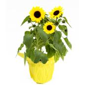 Tournesol, Devry Greenhouse, pot de culture de 6 po