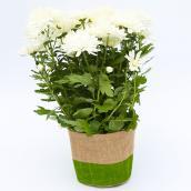 Devry Greenhouse Flowering Plants - 4-in Decorative Pot