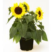 Devry Greenhouse Sunflower - 1-Gallon Grower Pot