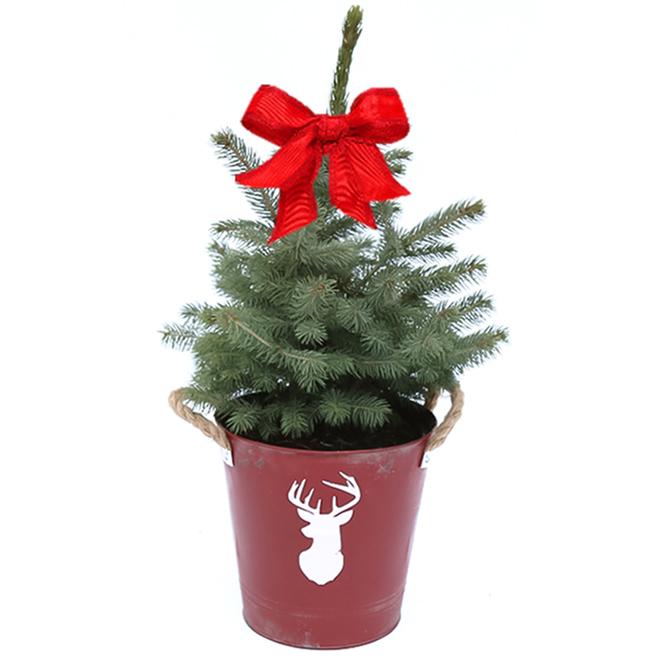 Devry Greenhouse - Alberta Spruce Pot - 2 ga