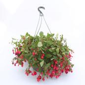 Fuchsia couleur assortie Devry Greenhouse, panier suspendu de 12 po