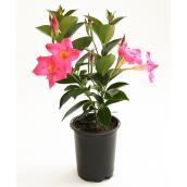 Devry Greenhouse Assorted Colour Mandevilla - 1-Litre Pot