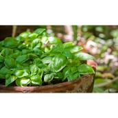 Devry Greenhouse Basil Bowl - 10-in - Assorted