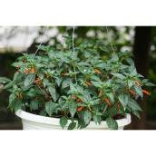 Devry Greenhouse Assorted Pepper Plant - 11-in Hanging Basket