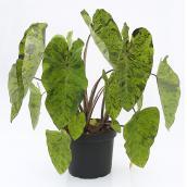 Plante tropicale de qualité supérieure en pot de 10 po, assorti