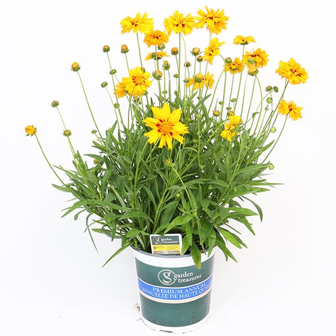 Annuelle plantable en pot, 1qt assorti