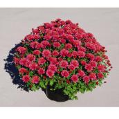 Mum Garden - Assorted Colours - 9''