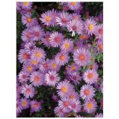 Assorted Aster - 9-in Growing Pot
