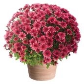 Mum Planter - Assorted Colours - 12""