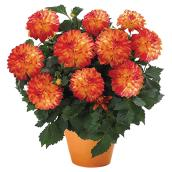Dahlia XXL, Serres Mirabel, pot de 10'', couleurs assorties