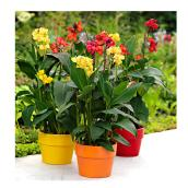 Canna - Assorted Colours - 10-in Pot