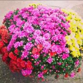 Mums in Assorted Colours - 12'' Pot