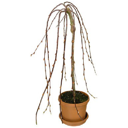 Westbrook Florale - Potted Pussy Willow - 6-in Grower Pot