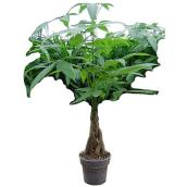 Pachira tress, Westbrook Florale, 10''