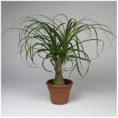 Ponytail ramifié, Westbrook Florale, pot panterra, 6''