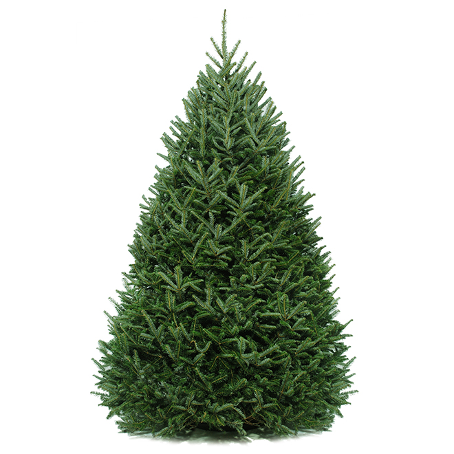 Balsam Christmas Tree - 6-ft to 8-ft