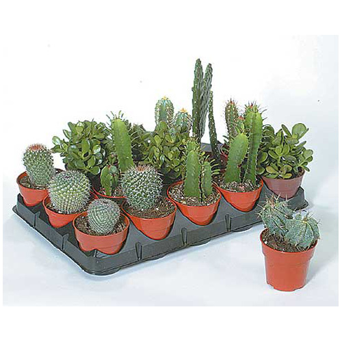 Assorted Cactus and Succulent - 4'' Grower Pot