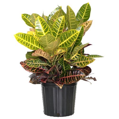 Plantes -  Arbuste « Croton Petra »
