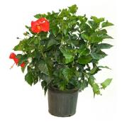 "Tropical hibiscus - Rosa-sinensis - 10"" - Red"