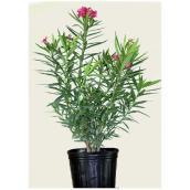 Laurier rose, Costa Nursery, buisson, 10'', couleurs assorties