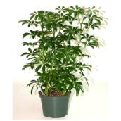 Buisson Arboricola, pot de culture de 6''