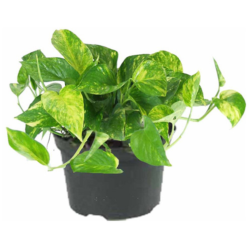 Golden pothos, pot de 6''