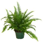 Fern Kimberly Queen - 6'' Grower Pot