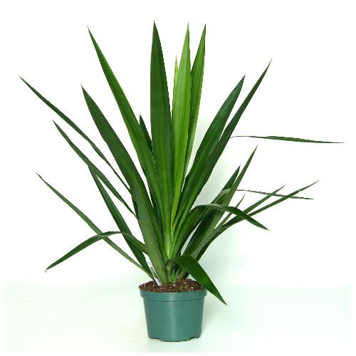 Yucca Tip, pot de 6''
