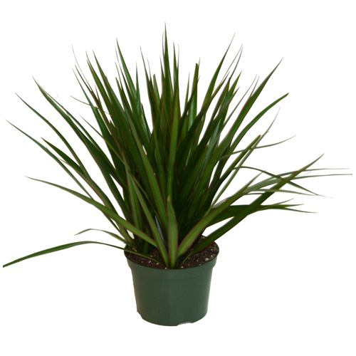 Dracaena Marginata, pot de culture de 6 po