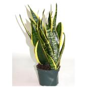Assorted Sansevieria - 6'' Pot