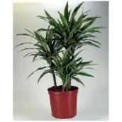 Dracaena Warneckii - 6'' Pot