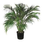 Palmier «Cataractarum»