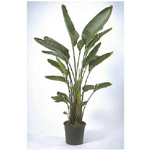 Costa Nursery White Bird Of Paradise Plant 14 Pot Wb1y Loose Rona