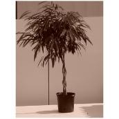 Ficus Ali tréssé, 12''