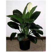 Spathiphyllum