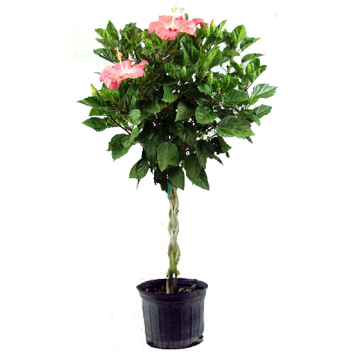 """Braided Hibiscus - 10"""" - Assorted Colours"""