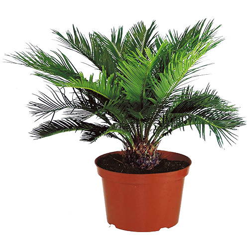 Cycas du Japon, pot de 10""