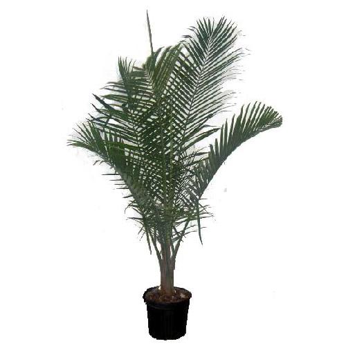 Palmier «Majesty»