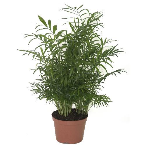 Palmier Neanthe Bella, pot de culture de 7''