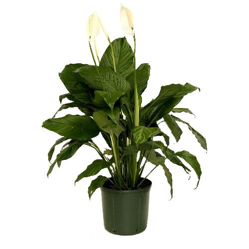 Costa Nursery Plant Spathiphyllum Sy06 Loose Rona